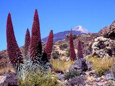 Weird Plants, Unusual Plants, Tenerife, Dr Seuss Trees, Garden Art, Garden Plants, Architecture Cake, Desert Pictures, Cactus