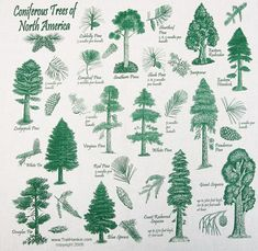 Many wonderful trees here in our area and what the cones, branches and etc look like...I love trees!