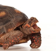 """This isn't the prestigious and sober Nobel Prize, it's funny and fantastic. The annual honor, administered by the group Improbable Research, is given to scientific research that makes people """"laugh and then think."""" The 2011 winners explored quirky questions, including: Is yawning contagious for red-footed tortoises? How does having to pee affect people's decision-making? Why is that beetle trying to mate with a beer bottle? [By Alisa Opar/Photograph by Peter Baumber]"""
