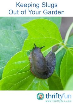 This is a guide about keeping slugs out of your garden. If you live where slugs are prevalent you know the destruction they can cause. They can quickly consume plants and ruin your garden.