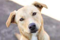 07/05/15-STELLA Labrador Retriever • Adult • Female • Large PAWS Shelter and Humane Society Kyle, TX