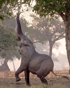 Reaching high ! - elephant zimbabwe -- by Jane Dagnall