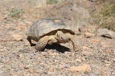 Desert Tortoise, Mojave National Preserve (photo: Leigh Scott)