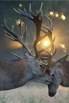 Reindeers . Animal photography