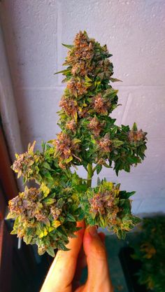 Beautiful buds #cannabis #maryjane #marijuana