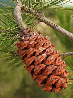 Pino de Nelson / Nelson's Pinyon (Pinus nelsonii) cono   Flickr - Photo Sharing!