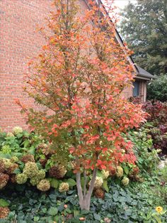 Japanese Stewartia is a beautiful tree for any landscape. Deciduous Trees, Trees And Shrubs, Trees To Plant, Acer Trees, Dwarf Trees For Landscaping, Small Yard Landscaping, Outdoor Plants, Outdoor Gardens, Outdoor Spaces