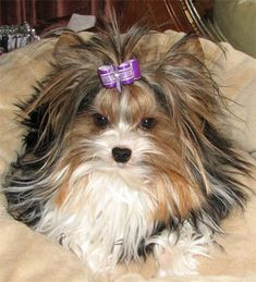 My next dog.....no shedding with yorkie's. She is a special breed a biewer terrier!