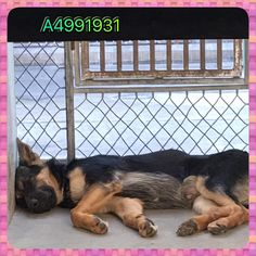 Share on Facebook Share on Twitter FlipboardLife at the high kill Baldwin Park Shelter in California is no walk in the park. One pup who knows all about this is a 7-month-old German shepherd puppy who is just too depressed to make an effort to greet visitors anymore. The dog, who started out showing everyone around …