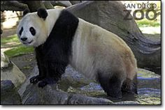 a panda has extra thumbs on its front paw