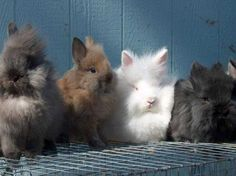 lionhead rabbits,we have one of these,we call him Leo! Hunny Bunny, Cute Bunny, Adorable Bunnies, Silly Rabbit, Bunny Rabbit, Baby Animals, Cute Animals, Lionhead Rabbit, Dog Boarding
