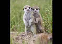 Meerkat Manor Pictures: About Meerkats: Animal Planet