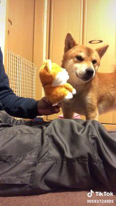 Funny Dog Videos, Funny Animal Memes, Dog Memes, Cute Funny Animals, Funny Animal Pictures, Cute Baby Animals, Funny Dogs, Cute Small Dogs, Cute Dogs And Puppies