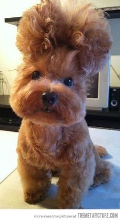 funny dog hairstyle cute