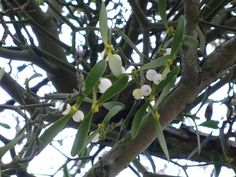 Holiday Aphrodisiac: Why Mistletoe is Welcome at Parties Gardenista