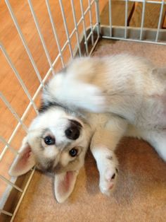 Alaskan Klee Kai - If I can't own one, I at least need to see one in real life.