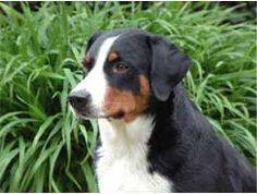 Appenzeller Mountain Dog.