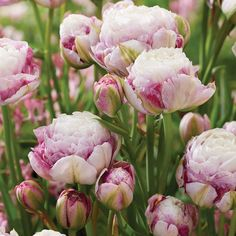 This double late tulip sports peony-like blooms with light pink-white centers surrounded by raspberry colored outer petals. Perfect in containers and borders with blooms late spring. Imagine the cut flower possibilities with this beauty!