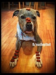 A dog with a story to tell and a message to spread. Facebook.com/macthepitbull #pitbull #pit #rescue #macthepitbull