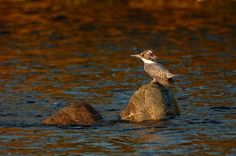 Crested kingfisher by Mubi.A