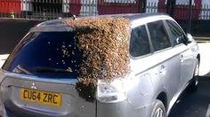 bee-swarm-on-car.jpg