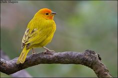Saffron Finch (Sicalis flaveola) by Dubi Shapiro, The Internet Bird Collection: A lovely tanager from South America.  #Bird #Saffron_Finch #Dubi_Shapiro
