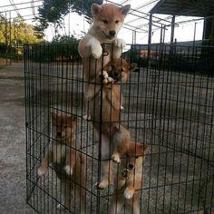 "Puppy ladder ...| ""There is no Pup in Teamwork"" (ProudSHIBA:@kimjjindgi)/ #ProudShibas #shiba #shibainu #shibastagram #shibainumania#shibainupuppy #shibainulovers #puppy #puppies#puppiesofinstagram #instapup #instacute#instadogs #instagood #insta_dogs #dogslife#doglife #doge #dogs #cute #cutest #cutedog#cutepuppies #cutepuppy #cutepets #kawaii#instapupp"