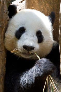 Más tamaños | Panda bear 3 - close crop | Flickr: ¡Intercambio de fotos!