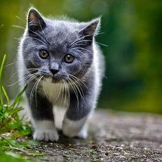 Fluffy Grey Kitten   Google Search