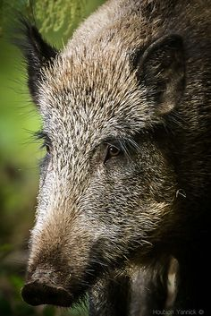 Wild Boar are so smart that they are almost impossible to eradicate. They are so destructive that they destroy habitat and eat both creatures and vegetation .rooting with their snouts. Animals And Pets, Cute Animals, Hog Hunting, Wild Boar, Tier Fotos, Bird Pictures, Pet Portraits, Animal Kingdom, Pet Birds