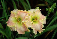 Photo of Daylily (Hemerocallis 'Lillian's Jinger Bred') uploaded by shive1