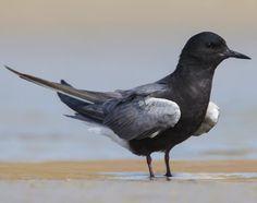 Chlidonias niger - Black Tern