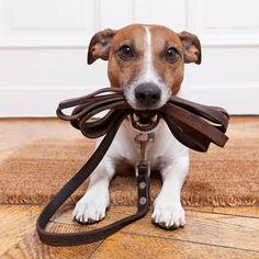 Looking for a trustworthy dog walker for your pet who cared your pet like a family member. Contact Cuddly Tails, Make your dog walk more enjoyable Funny Animal Pictures, Funny Animals, Funny Dogs, Dog Pictures, Jack Russell Terriers, Jack Russells, Training Your Dog, Training Tips, Training Plan