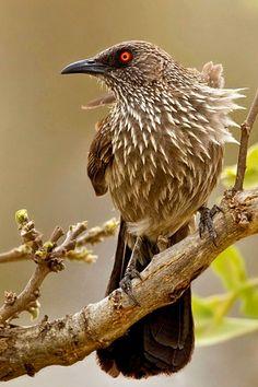 Arrow-marked Babbler (Turdoides jardineii). A laughingthrush of Africa. photo: Dubi Shapiro.