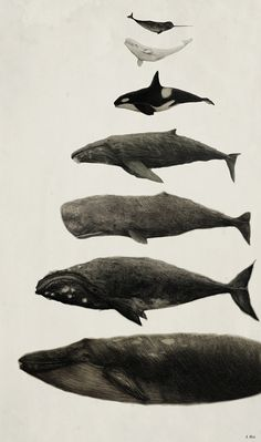 Whales! From top to bottom: Narhwal, Beluga Whale, Orca, Humpback Whale, Sperm Whale, Right Whale, and Blue Whale (Approx size differences) Medium: PencilJennifer Hui, 2014