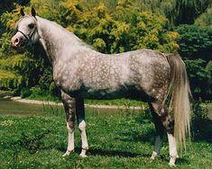 Magic Domino (Ludomino x Hamsfah) 1998 Grey stallion 100% Crabbet
