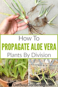 Propagating aloe vera by division is super easy, and it's a great way to share your plant with friends. Learn about the different methods you can use to propagate aloe vera plants, get tips for… More