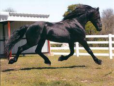 Friesian Stallion - Bogart von Jorrit.