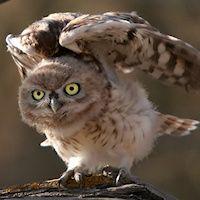 Little Owl Athene noctua juvenile