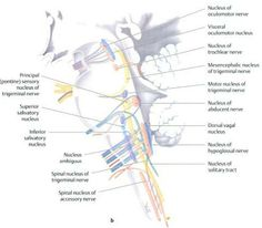 cranial nerve nuclei of the brainstem - sagittal view