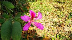 Bauhinia x Blakeana, Hong Kong Orchid Tree (The Flower is The Symbol on Flag of Hong Kong) Pink Long-Lasting Five Petals Asia Flowers, Champasak, Laos 4k Video Footage Clip - 4K stock footage clip