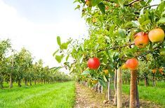 This working apple orchard turns its harvest into freshly pressed cider, fried pies, apple butters and more. The Apple Barn Cider Mill & General Store, Inc. Apple Picking Season, Natural Ecosystem, Perennial Vegetables, Agriculture Farming, Low Maintenance Plants, Apple Orchard, Apple Tree, Red Apple, Medicinal Herbs