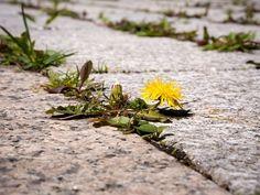 Na plevel mezi dlaždicemi zabírá voda s octem. Weeding Tips, Kill Weeds Naturally, Weed Killer Homemade, Stinky Shoes, Gill Sans, Rid Of Ants, Baking Soda Uses, Weed Seeds, Weed Control