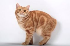 15 Purrsome Cat Breeds That Behave Like Dogs - The CATDOGS - Cats In Care - Page 5