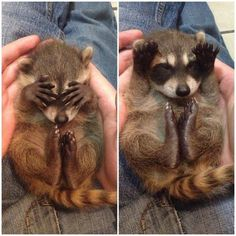 A baby raccoon indulging in a quick game of peekaboo. | 25 Animal Pictures That Will Restore Your Faith In Animals