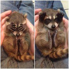 Ce bébé raton-laveur qui joue à cache-cache. | 25 images d'animaux qui vous aideront à survivre cette semaine