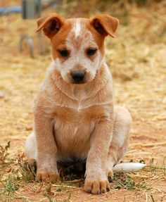I'm red. I'm cute.   Australian red heeler, like Luna. But puppy.