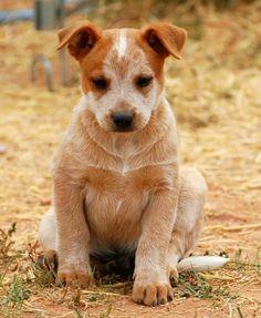 I'm red. I'm cute.   Australian red heeler, like Luna. But puppy.