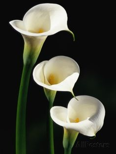 Three White Calla Lilies Photographic Print by Darrell Gulin at AllPosters.com