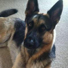 German Sheperd. my kind of dog. <3 what we will be getting :)